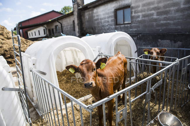 Gros plan des vaches, mise au point sélective — Photo de stock