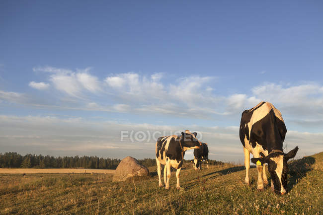 Scenic view of cows at meadow at summer — Stock Photo