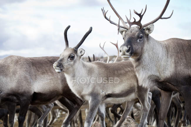 Close-up of reindeer walking in wild nature — Stock Photo