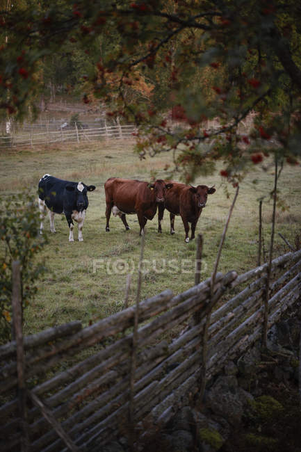 Vaches sur le paddock à la ferme, mise au point sélective — Photo de stock