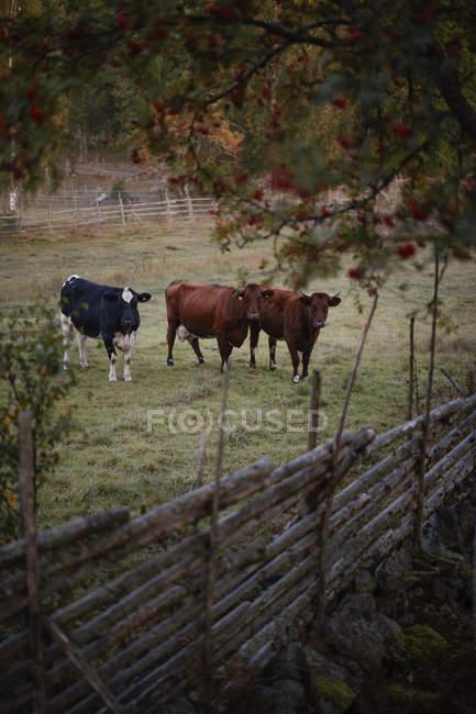 Kühe im Fahrerlager am Bauernhof, selektiven Fokus — Stockfoto