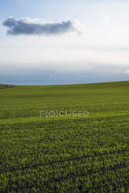 Green field of wheat under cloudy sky — Stock Photo
