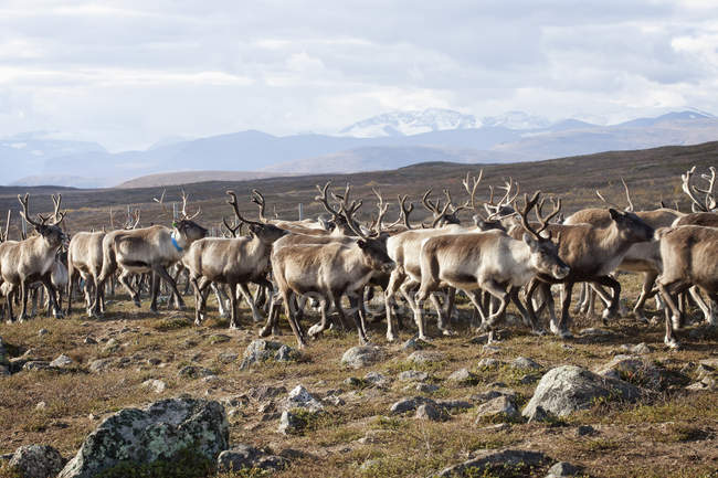 Herd of reindeer walking in wild nature — Stock Photo