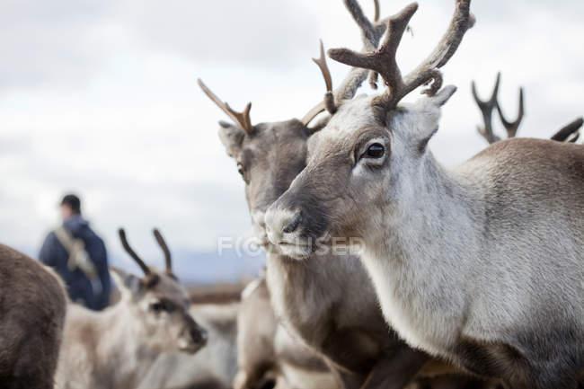 Portrait of reindeers in herd, selective focus — Stock Photo