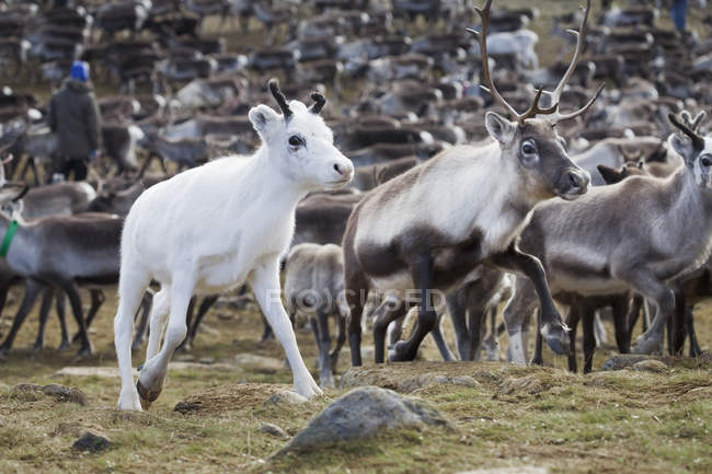 Herd of reindeer with white calf walking in wild — Stock Photo