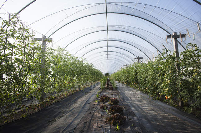 Green plants in greenhouse at summer, diminishing perspective — Stock Photo