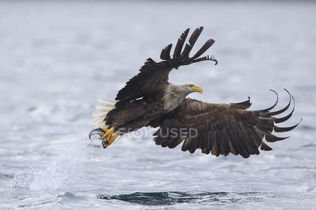 Águila de cola blanca con pescado en garras, enfoque en primer plano - foto de stock