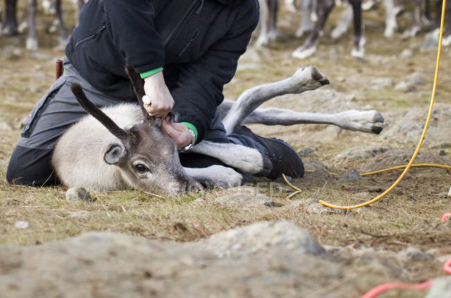 Man tagging reindeer in wild, selective focus — Stock Photo