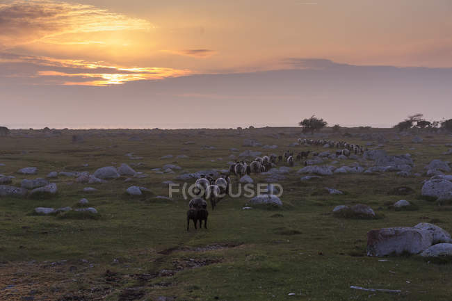 Sheep in field at sunset, rural scene — Stock Photo