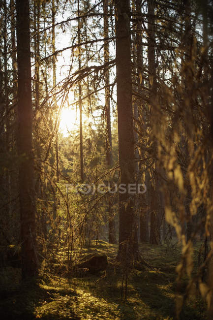 Scenic view of sun shining through trees — Stock Photo