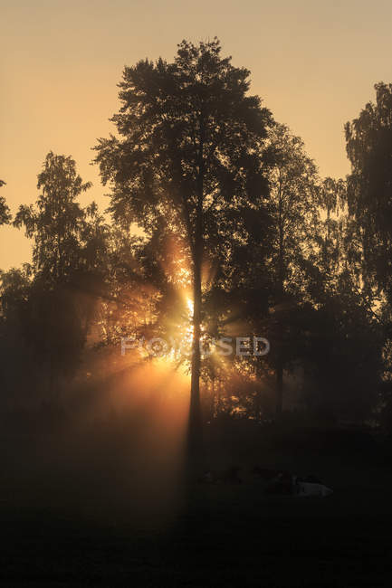 Sunbeam through trees at dawn, sweden — Stock Photo