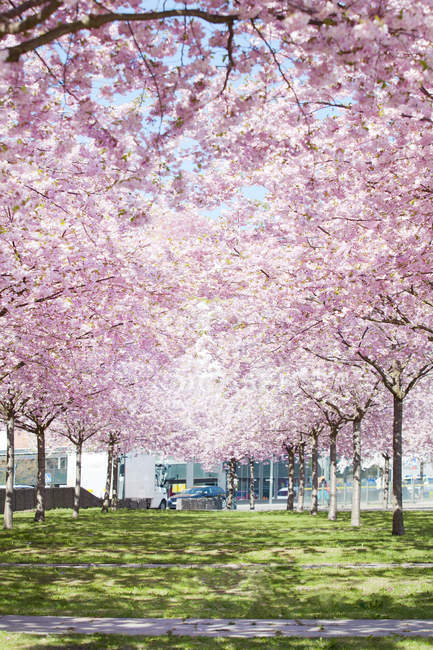 Pink trees growing in park, northern europe — Stock Photo