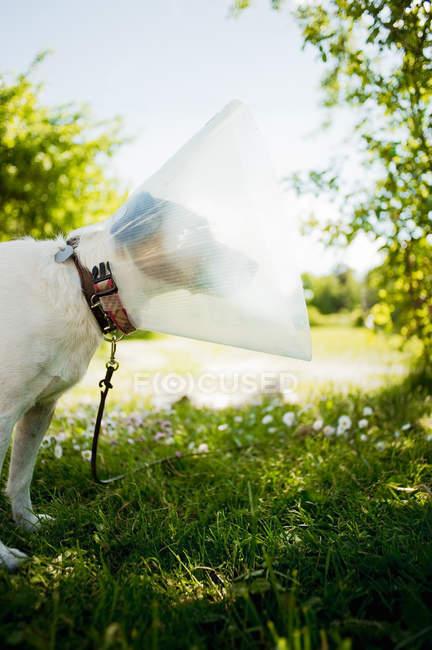 Terrier dog wearing protective collar in garden — Stock Photo