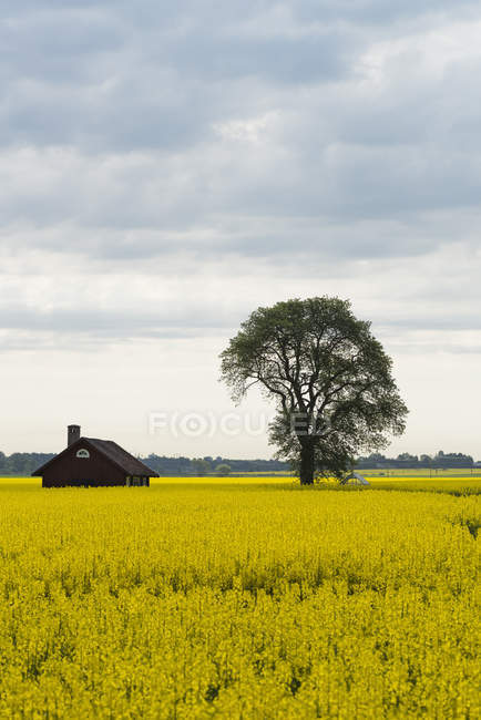 Scenic view of tree and house in yellow field — Stock Photo