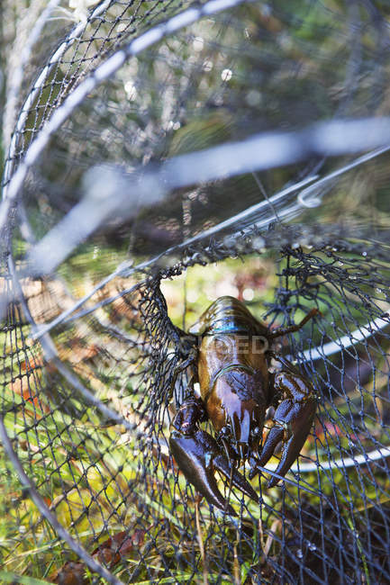 Crayfish caught in fishing net, differential focus — Stock Photo