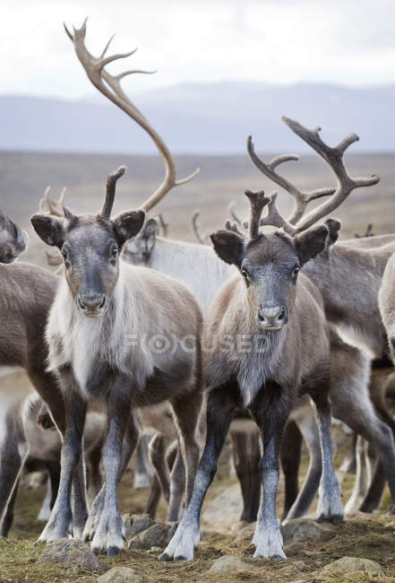 Herd of reindeer in wild nature, focus on foreground — Stock Photo