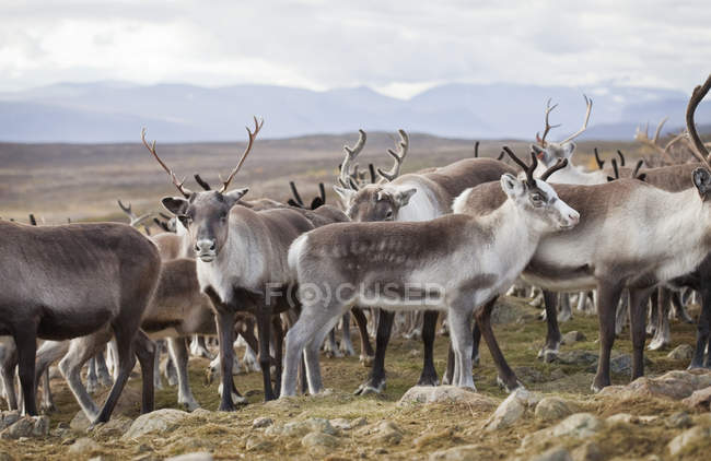Herd of reindeer standing in wild nature — Stock Photo