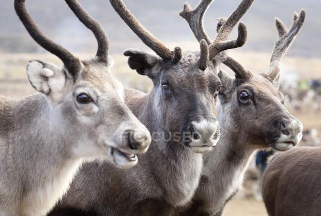 Ritratto di tre renne, fuoco selettivo — Foto stock