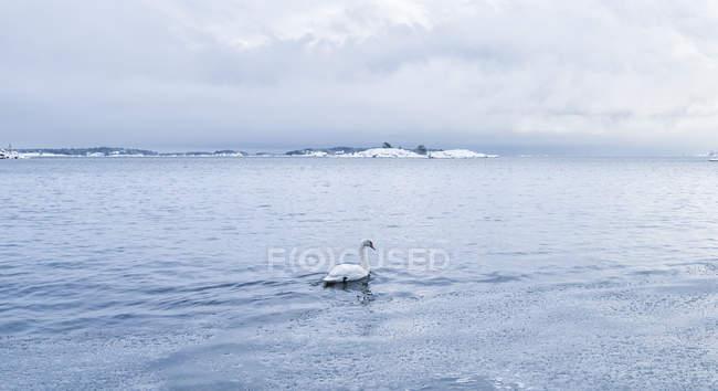 Höckerschwan auf dem Wasser, Nordeuropa — Stockfoto