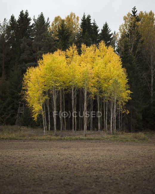 Arbres aux feuilles jaunes dans le Parc National de Soderasens — Photo de stock