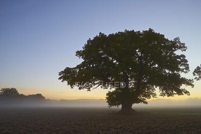 Single tree in foggy field at dawn — Stock Photo