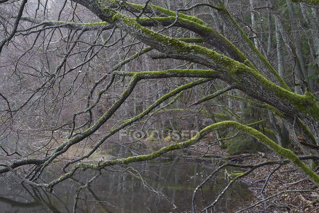 Bare trees along river in forest, northern europe — Stock Photo