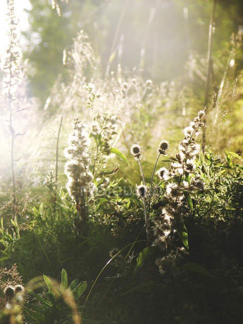 Дикие цветы на рассвете, избирательный фокус — стоковое фото