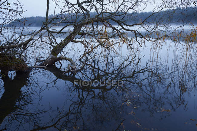 Willow tree protruding from water, northern europe — Stock Photo