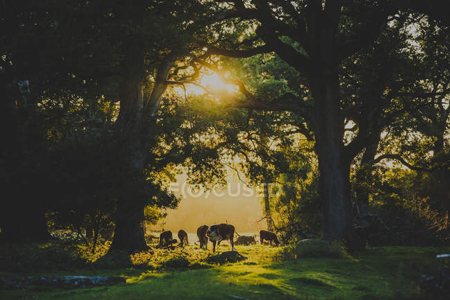 Cows grazing at sunset, northern europe — Stock Photo