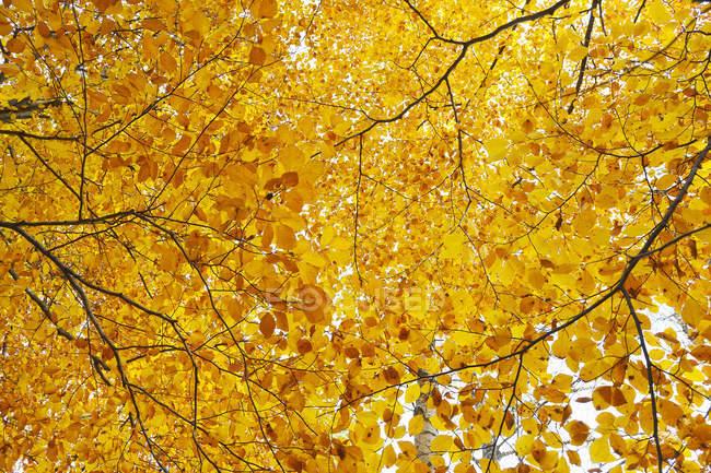 Низким углом зрения Золотой осени листва на деревьях — стоковое фото