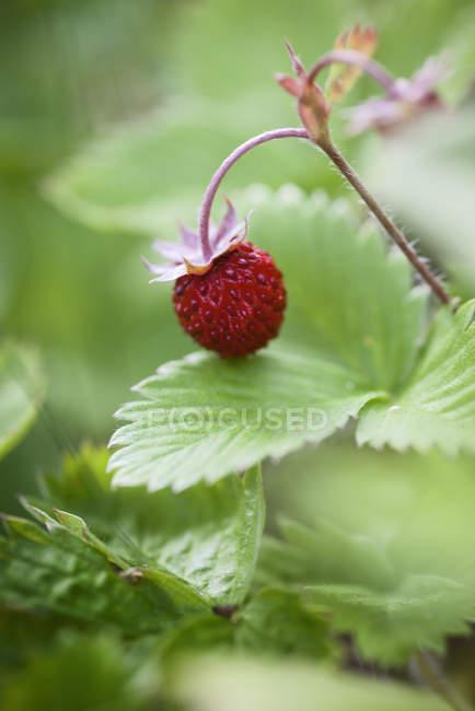 Close up shot of wild strawberry — Stock Photo