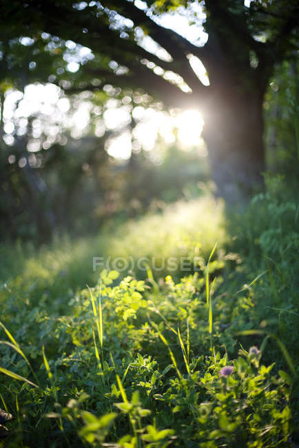 Lush greenery illuminated with sunlight, close up — Stock Photo
