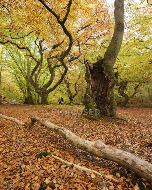 Vista panoramica della foresta autunnale, attenzione selettiva — Foto stock