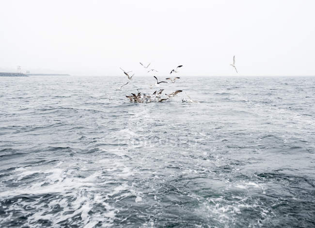 Seagulls flying over sea at northern europe — Stock Photo
