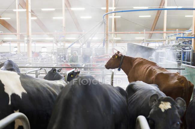 Vacas na exploração leiteira, norte da Europa — Fotografia de Stock