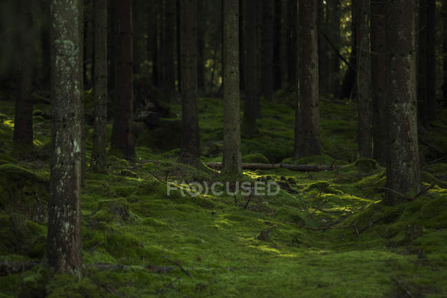 Живописный вид на Моховой лес в Харскогене, Швеция — стоковое фото
