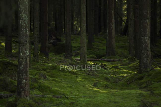 Scenic view of mossy forest in Harskogen, Sweden — Stock Photo
