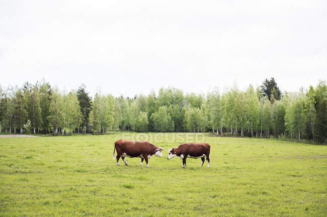 Deux vaches sur le terrain contre la forêt à Dalarna, Suède — Photo de stock