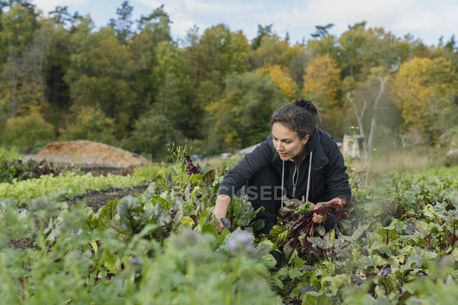 Woman picking beetroot from garden, focus on foreground — Stock Photo