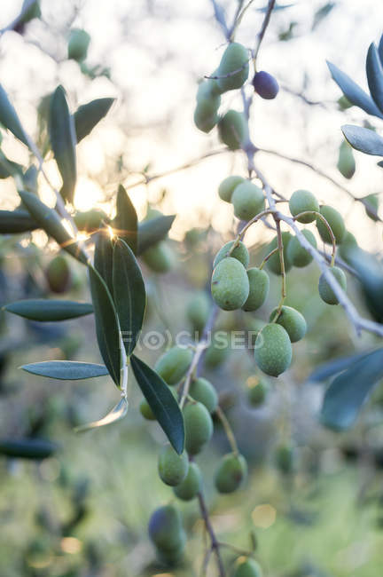 Olives on tree in Lazio, Italy, focus on foreground — Stock Photo