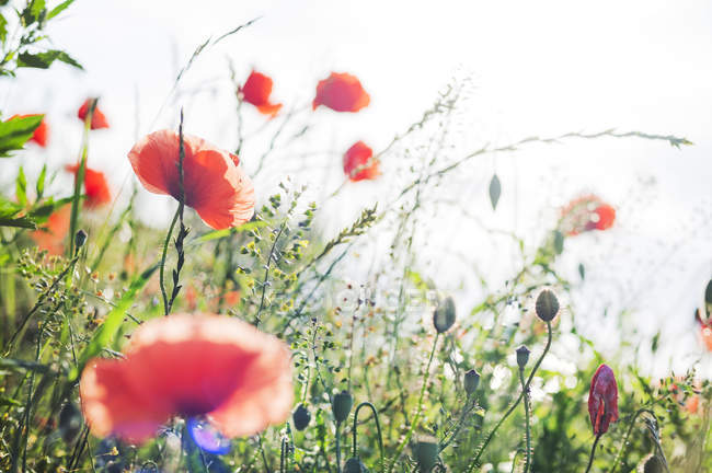 Close-up of poppies at field of wildflowers, selective focus — Stock Photo