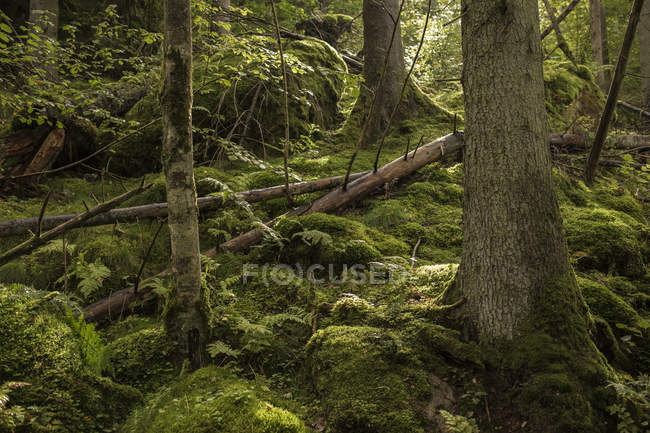 Scenic view of mossy forest in Harskogen, Sweden - foto de stock