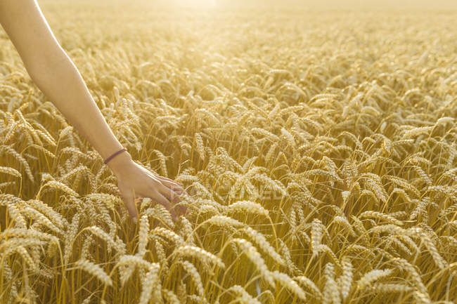 Female hand touching wheat at field, focus on foreground — Stock Photo