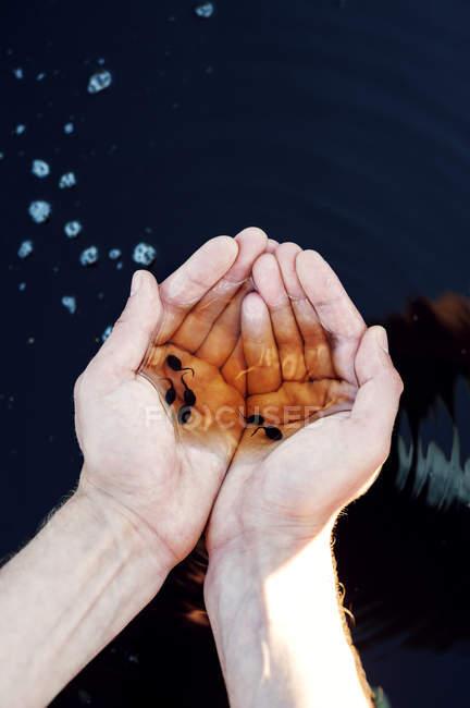 Männliche Hände, die Kaulquappen halten, selektiver Fokus — Stockfoto