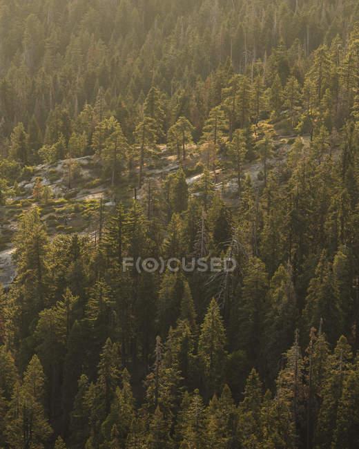 Ліс у національному парку Секвоя (Каліфорнія). — стокове фото