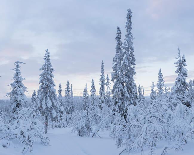 Árvores cobertas de neve, foco seletivo — Fotografia de Stock