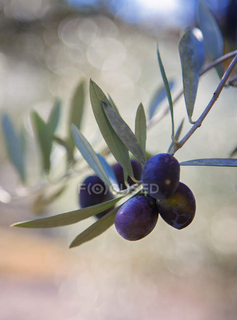Olives hanging from olive tree, selective focus — Stock Photo
