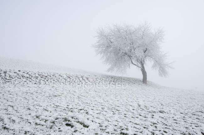 Tree in snow covered field at wintertime — Stock Photo