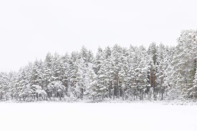 Arbres à côté du lac gelé Skiren en Suède — Photo de stock