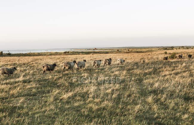 Troupeau de moutons marchant dans les champs — Photo de stock
